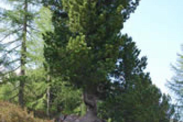 IL Pino  Cembro è un albero dalle spiccate qualità terapeutiche . Recenti studi scientifici hanno confermato che il suo profuma ha il potere di calmare il battito cardiaco di rilassare la respirazione ,di facilitare un sonno profondo e ristoratore